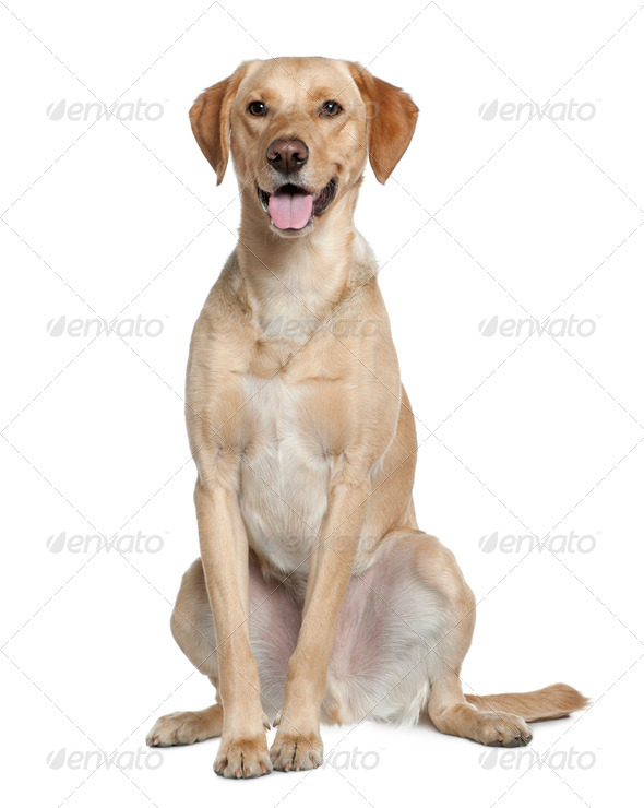 Labrador retriever, 20 months old, sitting in front of white background - Stock Photo - Images