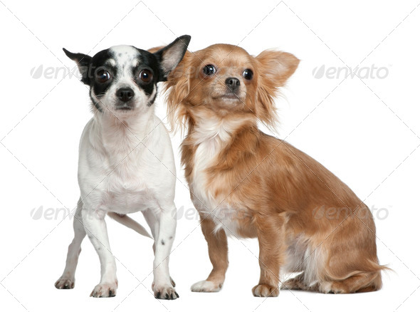 Two Chihuahuas, 4 years old and  18 months old, in front of white background - Stock Photo - Images