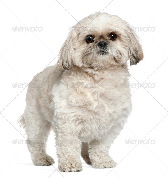 Shih Tzu, 3 and a half years old, standing in front of white background - Stock Photo - Images