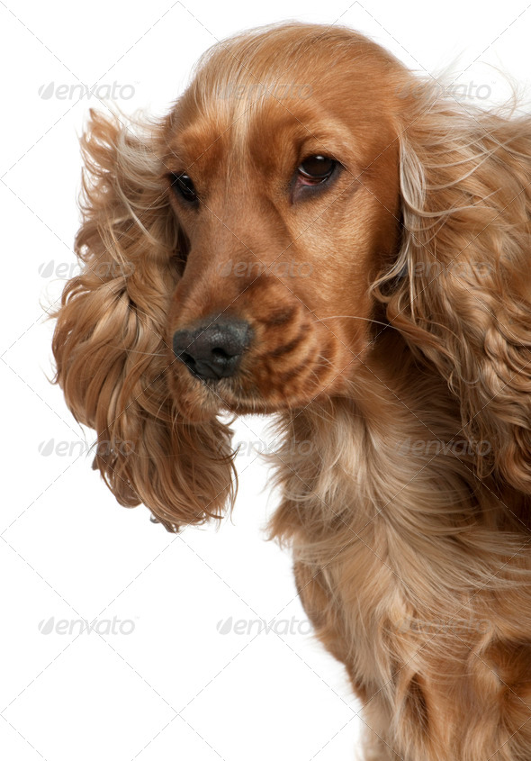 English Cocker spaniel with hair blowing in the wind, 18 months old, in front of white background - Stock Photo - Images