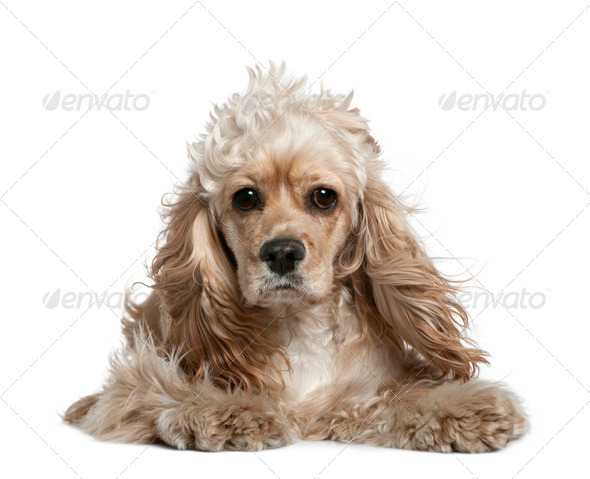 American cocker spaniel, 17 months old, in front of white background - Stock Photo - Images