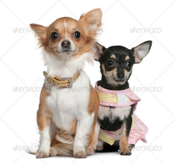 Two Chihuahuas, 6 months and 1 year old, sitting in front of white background - Stock Photo - Images