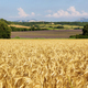 View of wheat field with lavender field at background , Provence, France - PhotoDune Item for Sale