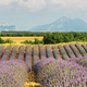Lavender field in Saint Jurs, Provence, France - PhotoDune Item for Sale