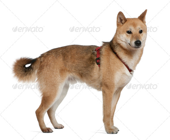 Shiba inu, 2 years old, standing in front of white background - Stock Photo - Images