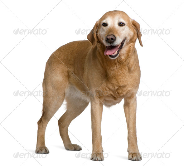 Labrador retriever, 8 years old, standing in front of white background - Stock Photo - Images