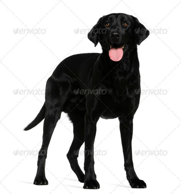 Labrador retriever, 3 years old, standing in front of white background - Stock Photo - Images