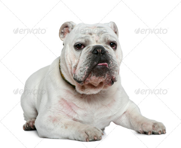 English bulldog, 10 months old, lying in front of white background - Stock Photo - Images