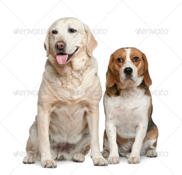 Labrador retriever and Beagle, 5 years old and 3 years old, sitting in front of white background - Stock Photo - Images