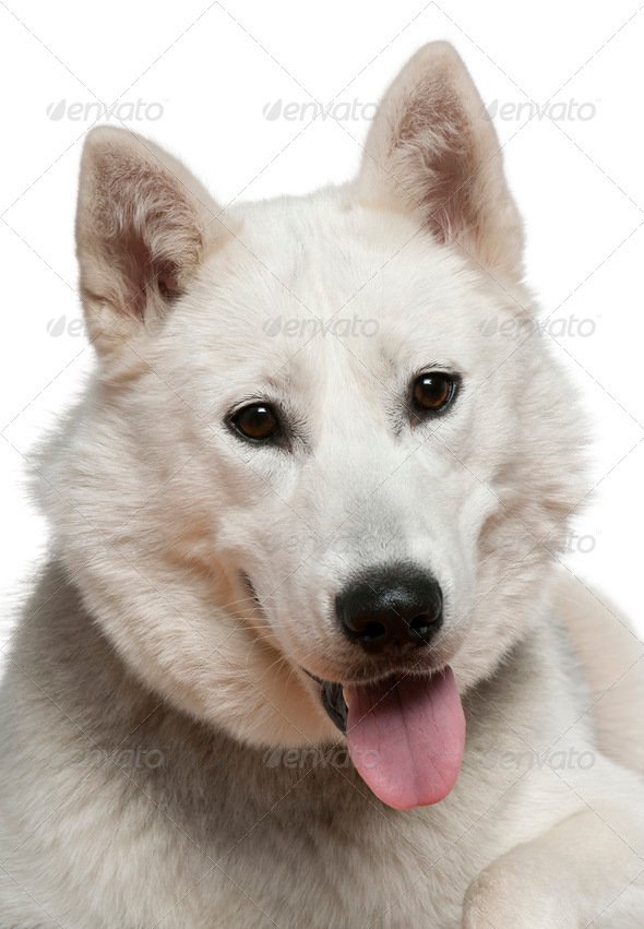 Siberian husky, 1 year old, in front of white background - Stock Photo - Images