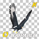 African Eagle - 4K Flying Loop - Round I - VideoHive Item for Sale