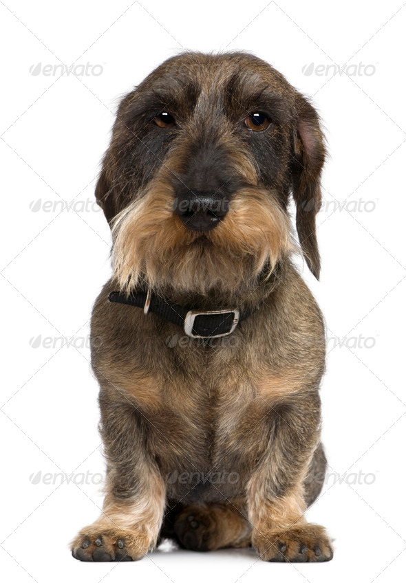 Dachshund, 4 years old, sitting in front of white background - Stock Photo - Images