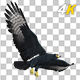 African Eagle - 4K Flying Transition II - VideoHive Item for Sale