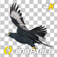African Eagle - 4K Flying Loop - Round II - VideoHive Item for Sale