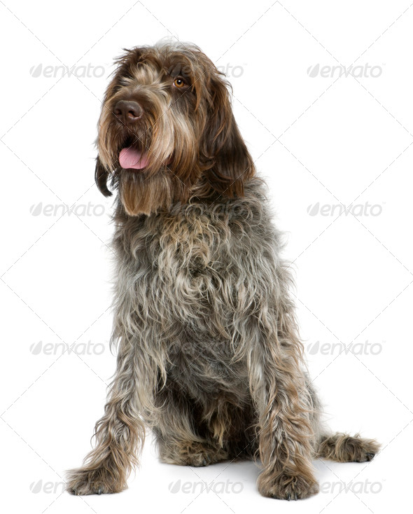 Wirehaired Pointing Griffon, 11 months old, sitting in front of white background - Stock Photo - Images