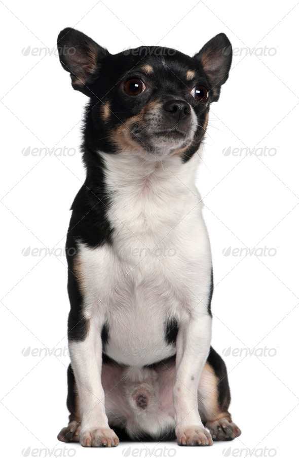 Chihuahua, 6 years old, sitting in front of white background - Stock Photo - Images