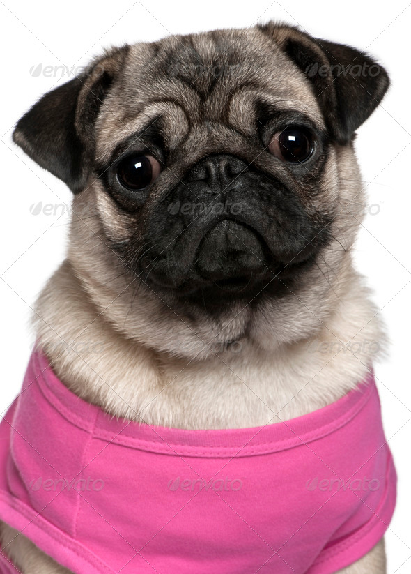 Pug dressed in pink, 7 months old, in front of white background - Stock Photo - Images