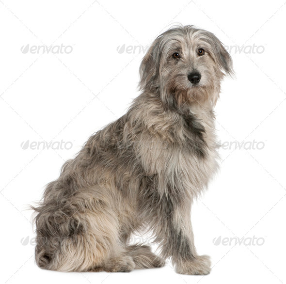 Pyrenean Shepherd dog, 7 months old, sitting in front of white background - Stock Photo - Images