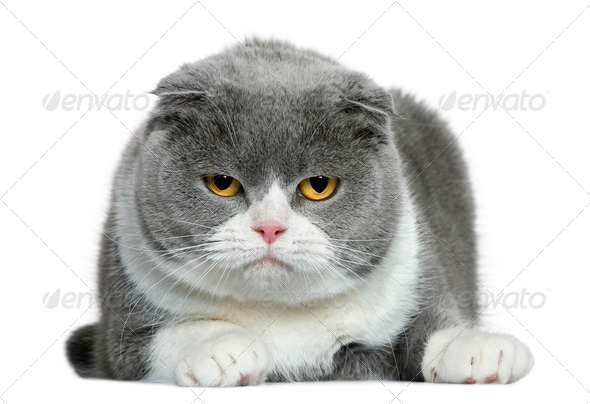Scottish fold cat, 5 years old, lying in front of white background - Stock Photo - Images