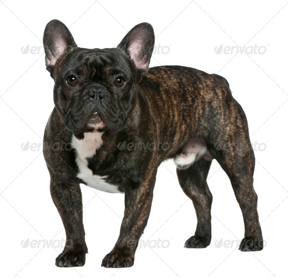 French bulldog, 1 year old, standing in front of white background - Stock Photo - Images