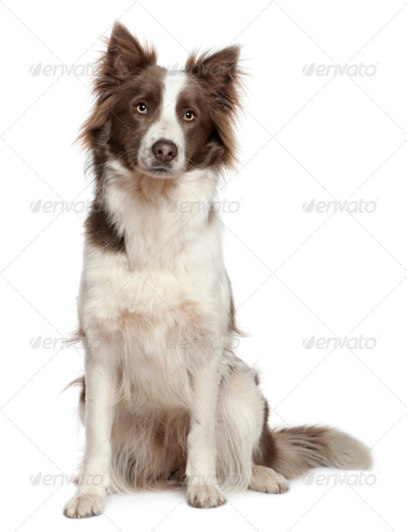 Border Collie, 1 year old, sitting in front of white background - Stock Photo - Images
