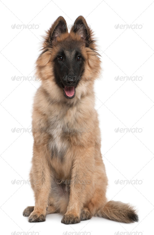 Belgian shepherd, Tervuren, 5 months old, sitting in front of white background - Stock Photo - Images
