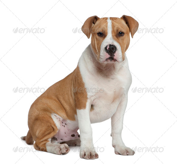 American Staffordshire terrier, 5 months old, sitting in front of white background - Stock Photo - Images