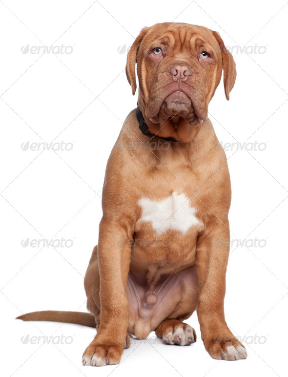 Dogue de Bordeaux, 5 months old, sitting in front of white background - Stock Photo - Images