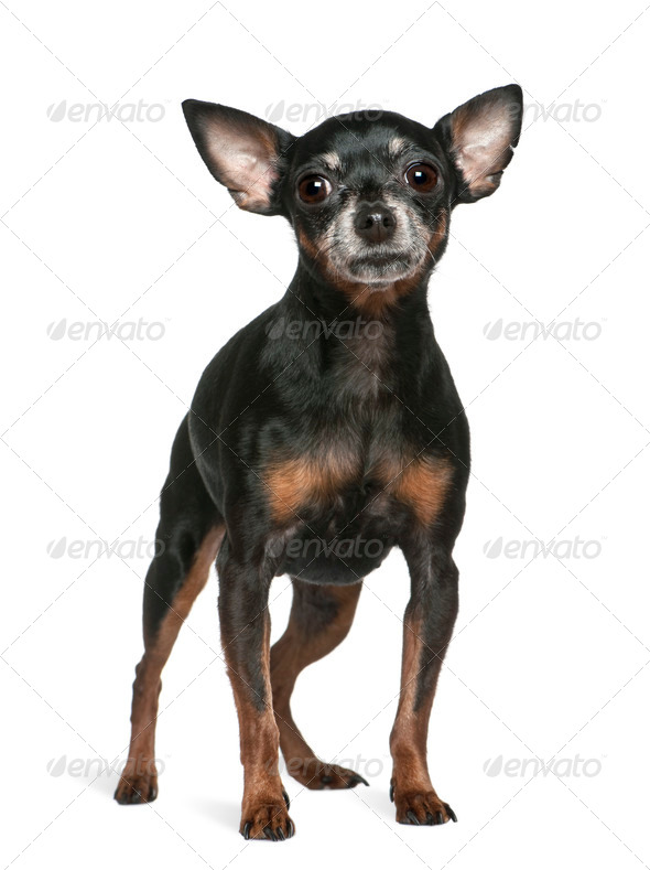 Miniature Pinscher, 7 years old, standing in front of white background - Stock Photo - Images