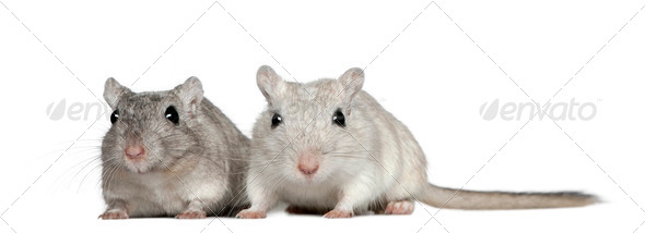 Two Gerbils, 2 years old, in front of white background - Stock Photo - Images