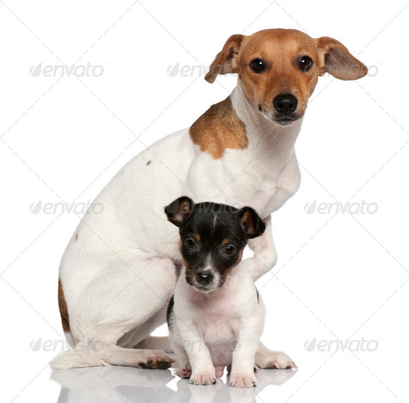 Adult and puppy Jack Russell Terrier sitting in front of white background - Stock Photo - Images
