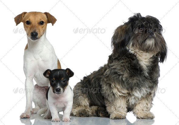 Adult and puppy Jack Russell Terrier with Shih Tzu sitting in front of white background - Stock Photo - Images