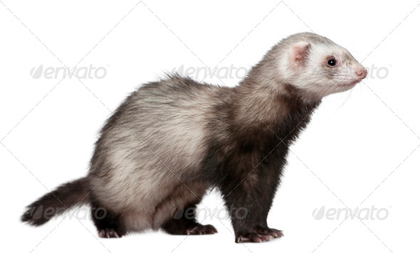 Ferret, 4 years old, in front of white background - Stock Photo - Images