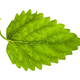 green leaf of lemon balm herb isolated - PhotoDune Item for Sale