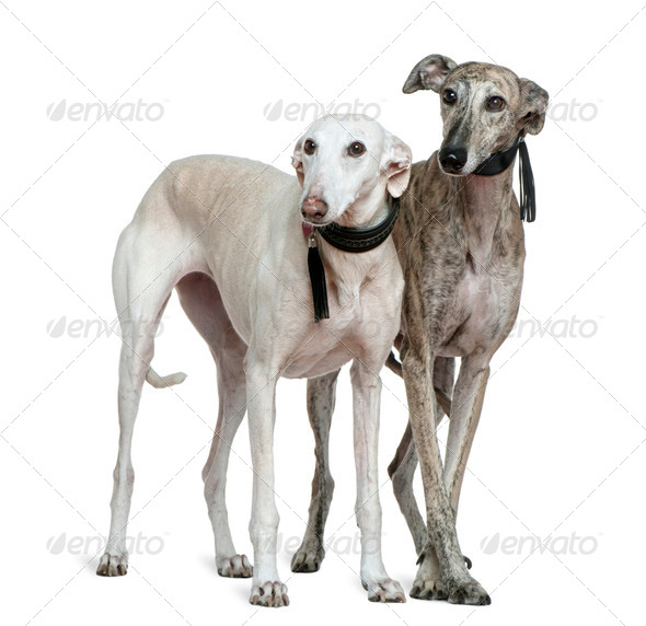 Two Galgo espanol dogs, 8 and 7 years old, standing in front of white background - Stock Photo - Images