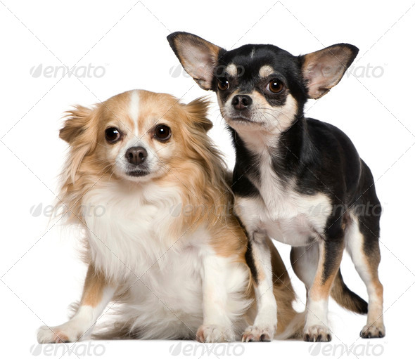 Two Chihuahuas, 6 and 2 years old, in front of white background - Stock Photo - Images