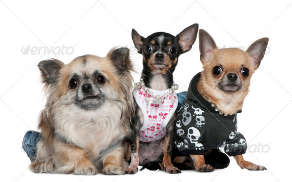 Group of Chihuahuas dressed up, 3 and 2 years old, in front of white background - Stock Photo - Images
