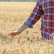 Farmer at cornfield touching wheat spikelets by his hand - PhotoDune Item for Sale