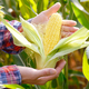 Harvest ready unwrapped corn cobs in farmer's hands - PhotoDune Item for Sale