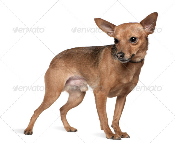 Miniature pinscher, 6 years old, standing in front of white background - Stock Photo - Images
