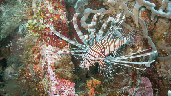 Lionfish off Bali - Stock Photo - Images