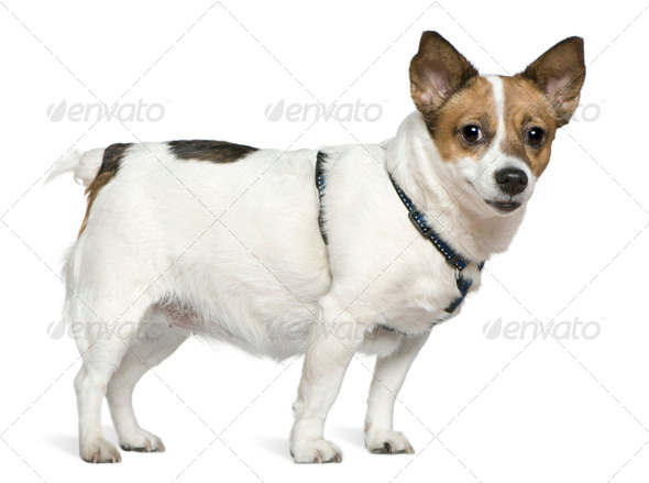 Jack Russell terrier, 6 years old, standing in front of white background - Stock Photo - Images