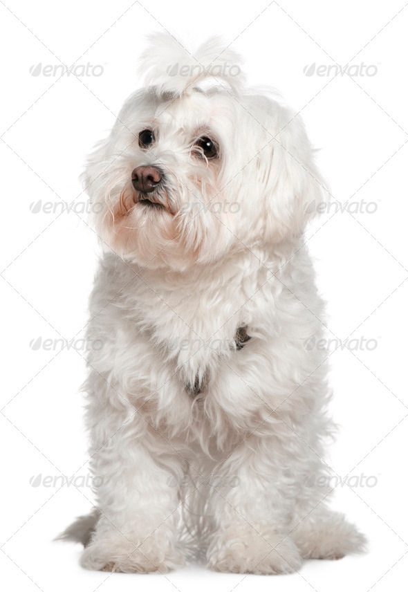 Maltese, 3 years old, sitting in front of white background - Stock Photo - Images