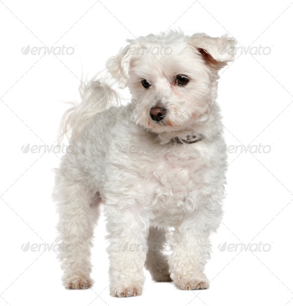 Maltese, 8 years old, standing in front of white background - Stock Photo - Images