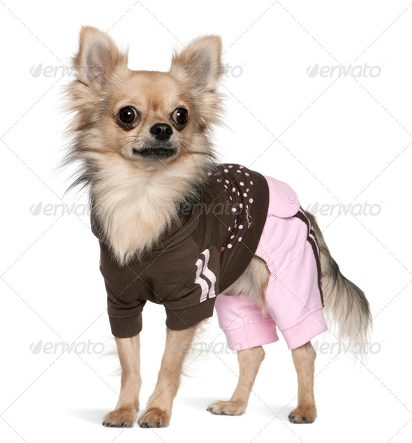 Dressed Chihuahua, 1 year old, standing in front of white background - Stock Photo - Images