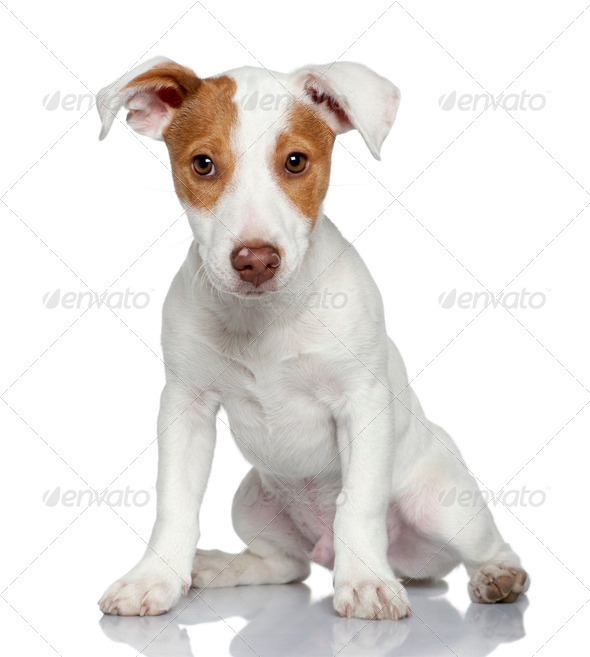 Jack Russell terrier puppy, 4 months old, sitting in front of white background - Stock Photo - Images