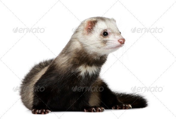 Ferret, 1 year old, in front of white background - Stock Photo - Images