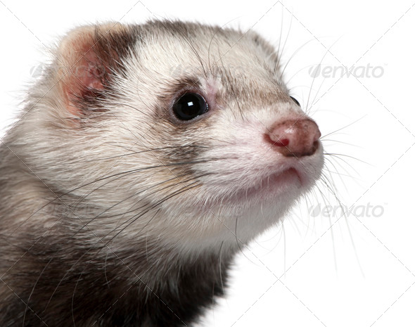 Close-up of Ferret, 1 year old, in front of white background - Stock Photo - Images