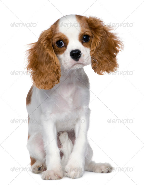 Cavalier King Charles Spaniel, 5 months old, sitting in front of white background - Stock Photo - Images