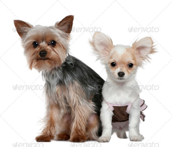 Chihuahua puppy and Yorkshire terrier, 4 months and 1 year old, sitting in front of white background - Stock Photo - Images
